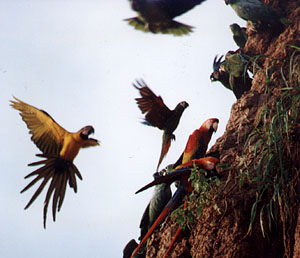 Macaws landing on the cliff
